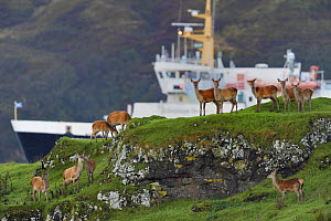Red deer (Cervus elaphus) herd of female does and young, with Islay ferry behind, Jura, Scotland, UK, September - Loic  Poidevin