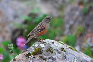 Collared accentor (Prunella collaris) Wolong National Nature Reserve, Sichuan Province, China.  -  Dong Lei
