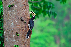 Oriental pied hornbill (Anthracoceros albirostris) on fruiting tree, Yingjiang County, Dehong Prefecture, Yunnan Province, China. - Dong Lei