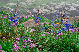 Blue poppy flowers (Meconopsis balangensis) Balang Mountain, Wolong National Nature Reserve, Sichuan Province, China. - Dong Lei