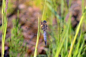 Black-tailed skimmer butterfly (Orthetrum cancellatum) male feeding, Stare Okopy, Poland.  -  Will Watson