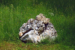 Natural limestone boulder from the Cretaceous Period located in a meadow with Spreading Bellfolower (Campula patula), Carpathian Biosphere Reserve, UNESCO World Heritage Site, Zakarpattia Oblast, Ukra...  -  Will Watson