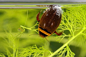 Diving beetle (Graphoderus cinereus) with Ciliates, Moccas Park, National Nature Reserve, Herefordshire, England, UK. Vulnerable species. - Will Watson