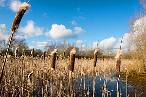 Bulrushes (Typha latifolia) on a pond in winter, Herefordshire, England. - Will Watson