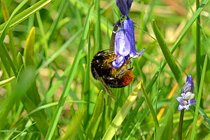 Red-tailed bumblebee queen (Bombus lapidarius) pollinating Bluebell (Hyacinthoides non-scripta),, Worcestershire, England.  -  Will Watson