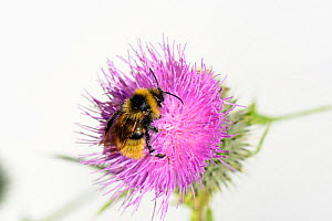 Field Cuckoo bumblebee (Bombus campestris) on Spear thistle (Cirsium vulgare), Herefordshire, England. - Will Watson