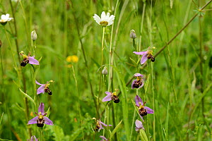 Bee orchids (Ophrys apifera) in limestone grassland, Worcestershire, England, UK, June.  -  Will Watson