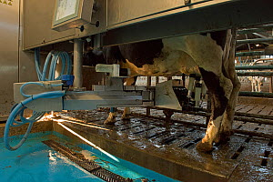 Holstein Cow attached to automated milking machine, Herefordshire, England, UK, February.  -  Will Watson