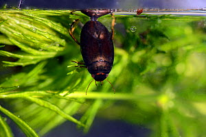 Diving bettle (Agaubus bipustulatus) taking air, Captive, Carmarthenshire, Wales, UK. July. - Will Watson