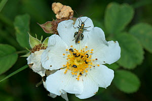 Thick-legged flower beetle (Oedemera nobilis) and Pollen Beetles (Meligethes aeneus) on Field Rose (Rosa  arvensis), Herefordshire, England, UK, July. - Will Watson