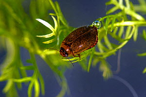 Diving Beetle (Rhantus exsoletus), Moccas Park National Nature Reserve, Herefordshire, England. - Will Watson