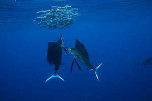 Atlantic sailfish (Istiophorus albicans) two feeding on sardines, using their long bills to help corral and stun the sardines one at a time, Yucatan Peninsula, Gulf of Mexico, Mexico.  -  Brandon Cole