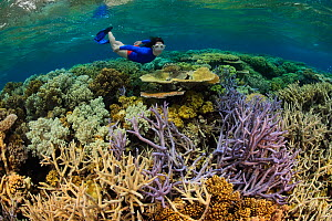Woman snorkels over healthy coral reef with impressive hard coral (Acropora sp) species diversity and coverage, Great Barrier Reef, Australia, Pacific Ocean  -  Brandon Cole