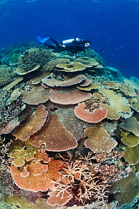 Scuba diver over healthy coral reef with impressive hard coral (Acropora sp) coverage, Great Barrier Reef, Australia, Pacific Ocean.  -  Brandon Cole