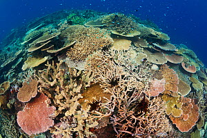 Healthy coral reef with impressive hard coral (Acropora sp) species diversity and coverage, Great Barrier Reef, Australia, Pacific Ocean  -  Brandon Cole