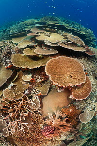 Healthy coral reef with impressive hard coral (Acropora sp) coverage, Great Barrier Reef, Australia, Pacific Ocean.  -  Brandon Cole