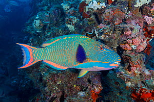 Spotted / Bicolor parrotfish (Cetoscarus ocellatus) swimming among wreckage of the SS Yongala, a famous shipwreck dive and artificial reef, Australia, Pacific Ocean.  -  Brandon Cole