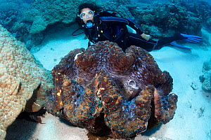 Giant clam (Tridacna gigas) 1 meter wide with scuba diver for scale, Great Barrier Reef, Australia, Pacific Ocean  -  Brandon Cole