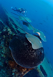 Marbled stingray (Taeniurops meyeni) female with smaller Pink Whiprays (Himantura fai) swimming together over SS Yongala shipwreck.  Very interesting social behaviour, rarely observed. Australia, Paci...  -  Brandon Cole