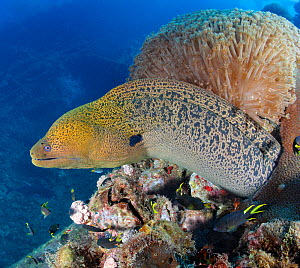 Giant moray eel (Gymnothorax javanicus) on the wreckage of the SS Yongala, a famous shipwreck dive and artificial reef, Australia, Pacific Ocean. - Brandon Cole