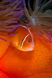 Pink anemonefish (Amphiprion perideraion) lives in symbiotic association with Magnificent sea anemone (Heteractis magnifica) Great Barrier Reef, Australia, Pacific Ocean  -  Brandon Cole