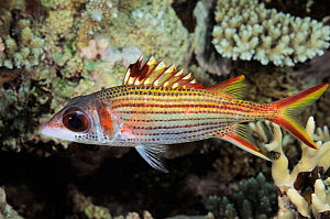 Spotfin squirrelfish (Neoniphon sammara) Great Barrier Reef, Australia, Pacific Ocean.  -  Brandon Cole