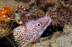 Banded coral shrimp (Stenopus hispidus) a cleaner shrimp, attends to a Spotted moray eel (Gymnothorax moringa), Caribbean Sea - Brandon Cole