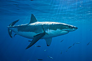 Great white shark (Carcharodon carcharias) Guadalupe Island, Baja, Mexico, Pacific Ocean, November  -  Brandon Cole