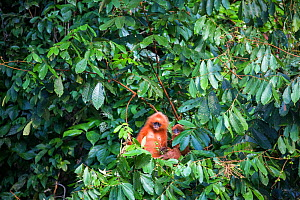 Maroon / Red leaf monkey / Langur (Presbytis rubicunda) eating fruits in tree, Danum Valley Conservation Area, Sabah, Borneo, Malaysia.  -  Christophe Courteau