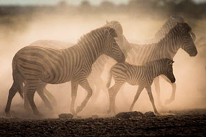 Plain / Burchell's zebras in dust (Equus burchelli) Nxai Pan National Park, Botswana.  -  Christophe Courteau