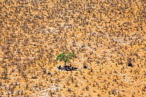 Aerial view of African elephants (Loxodonta africana) looking for the shade under trees on a very hot day , Northern Botswana.  -  Christophe Courteau