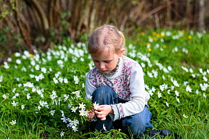 Young girl picking bunch of  Wood anemone (Anemone nemorosa) flowers in forest, early spring, France. Model released  -  Christophe Courteau