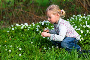Young girl picking bunch of Wood anemone (Anemone nemorosa) flowers, early spring in France. Model released  -  Christophe Courteau