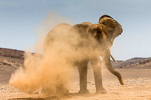 African elephant (Loxodonta africana) having dust bath, Namibia.  -  Christophe Courteau