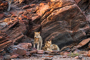 Desert dwelling Lions (Panthera leo) resting by rocks, population estimated at 90 individuals, Damaraland, North West of Namibia. - Christophe Courteau