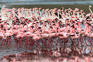 Greater flamingo (Phoenicopterus ruber) and Lesser flamingo (Phoeniconaias minor) flocking at low wide at Walvis Bay. Namibia, October  -  Christophe Courteau
