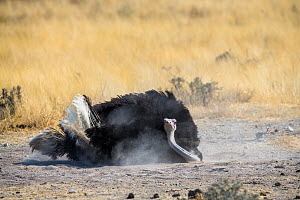 Ostrich (Struthio camelus) male having a dust bath, Etosha National Park, Namibia.  -  Christophe Courteau
