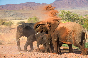 Desert dwelling African elephants (Loxodonta africana) having dust bath in Damaraland, Namibia.  -  Christophe Courteau