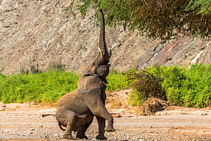 Desert dwelling African elephant (Loxodonta fricana) bull standing up to browse  high branches in the dry river bed of the Hoanib River, Damaraland, Namibia.  -  Christophe Courteau