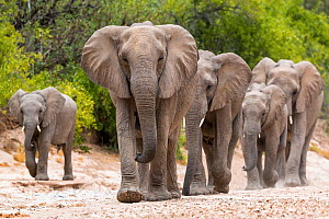 Desert dwelling African elephants (Loxodonta africana) matriarch leading her family in the Hoanib River bed, Damaraland. Namibia.  -  Christophe Courteau