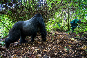 Mountain gorilla (Gorilla gorilla beringei) dominant silverback Akarevuro completely drunk due to the consumption of new bamboo stems which cause a fermentation in their stomach, leading to unpredicta... - Christophe Courteau