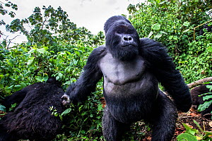 Mountain gorilla (Gorilla gorilla beringei) dominant silverback Akarevuro completely drunk due to the consumption of new bamboo stems which ferment in the stomach,  Kwitonda Group, Volcanoes National... - Christophe Courteau