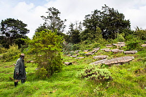 Beekeeper and his traditional bee hives (Apis sp) near the entrance of the Volcanoes National Park, home of the Mountain gorilla (Gorilla gorilla beringei) 2000 meters above sea level, Rwanda  -  Christophe Courteau