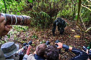 Mountain gorilla (Gorilla gorilla beringei) dominant silverback Akarevuro completely drunk due to the consumption of new bamboo stems which ferment in the stomach, with lots of photographers pointing... - Christophe Courteau