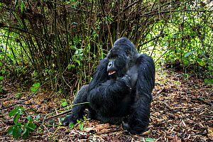 Mountain gorilla (Gorilla gorilla beringei) dominant silverback Akarevuro completely drunk due to the consumption of new bamboo stems which ferment in the stomach, Kwitonda Group, Volcanoes National P... - Christophe Courteau