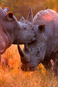 White rhinoceros (Ceratotherium simum) two males fighting, in evening light, Sabi Sand Game Reserve, South Africa. - Christophe Courteau