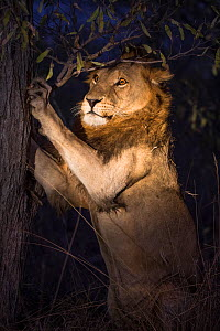 Lion (Panthera leo) male sharpening his claws on a tree at night, Sabi Sand Game Reserve, South Africa.  -  Christophe Courteau