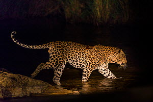 Leopard (Panthera pardus) male crossing river at night, Sabi Sand Private Game Reserve. South Africa.  -  Christophe Courteau