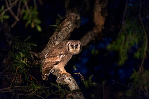 Giant eagle owl (Bubo lacteus) at night in a tree, South Africa June  -  Christophe Courteau
