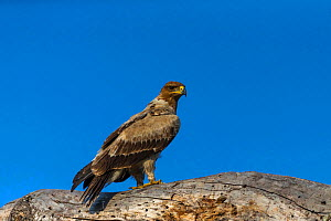 Tawny eagle (Aquila rapax) perched on rocks, South Africa  -  Christophe Courteau
